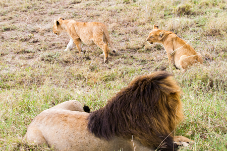 East African lion with cubs (Panthera leo melanochaita), species in the family Felidae and a member of the genus Panthera, listed as vulnerable, in Serengeti National Park, Tanzania
