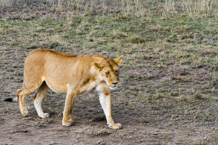 East African lionesses (Panthera leo), species in the family Felidae and a member of the genus Panthera, listed as vulnerable, in Serengeti National Park, Tanzania