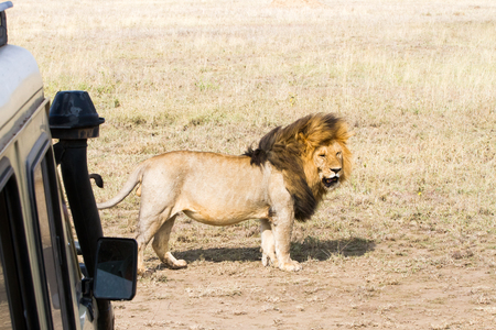 Male East African lion (Panthera leo melanochaita), species in the family Felidae and a member of the genus Panthera, listed as vulnerable, in Serengeti National Park, Tanzania