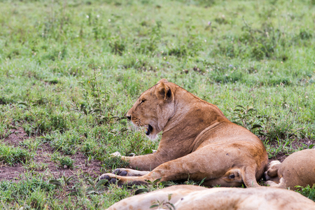 East African lionesses (Panthera leo), species in the family Felidae and a member of the genus Panthera, listed as vulnerable, in the grass in Serengeti National Park, Tanzania Stock Photo