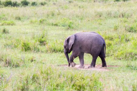 African elephants, of the genus Loxodonta in Serengeti National Park, Tanzania