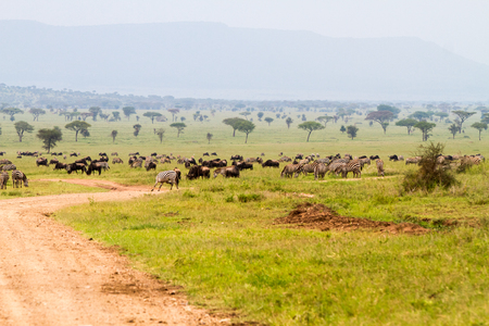 Field with zebras (Equus) and blue wildebeest (Connochaetes taurinus), common wildebeest, white-bearded wildebeest or brindled gnu, in Serengeti, Tanzania