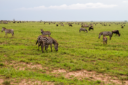 Field with zebras (Equus) and blue wildebeest (Connochaetes taurinus), common wildebeest, white-bearded wildebeest or brindled gnu, in Serengeti, Tanzania