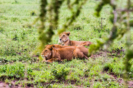 East African lionesses (Panthera leo), species in the family Felidae and a member of the genus Panthera, listed as vulnerable, preparing to hunt in Serengeti National Park, Tanzania
