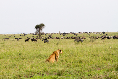 East African lionesses (Panthera leo), genus Panthera, listed as vulnerable