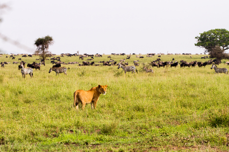 East African lionesses (Panthera leo), genus Panthera, listed as vulnerable, with  zebras (Equus) and blue wildebeests (Connochaetes taurinus, gnus) in the background preparing for hunting in Serengeti National Park, Tanzania Stock Photo