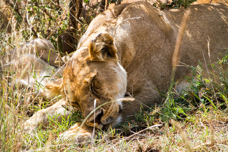 East African lion cubs (Panthera leo melanochaita), species in the family Felidae and a member of the genus Panthera, listed as vulnerable, in Serengeti National Park, Tanzania Stok Fotoğraf