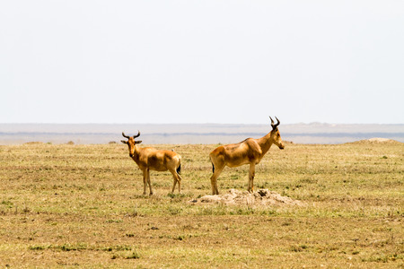 African antelope - the hartebeest (Alcelaphus buselaphus), also known as kongoni in Serengeti National Park, Tanzanian national park in the Serengeti ecosystem in the Mara and Simiyu regions Stock Photo