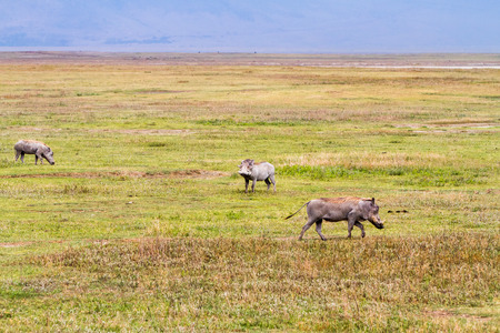The common warthog (Phacochoerus africanus), wild member of the pig family (Suidae) found in grassland, savanna, and woodland in in Ngorongoro Conservation Area (NCA) Crater Highlands, Tanzania