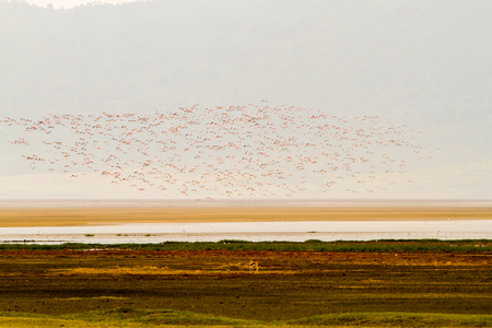 Flocks of lesser flamingos (Phoenicoparrus minor) at Ngorongoro Conservation Area (NCA) World Heritage Site in the Crater Highlands area of Tanzania