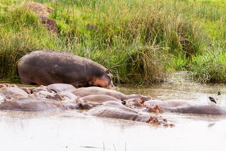 Common hippopotamus (Hippopotamus amphibius), or hippo, large, mostly herbivorous, semiaquatic mammal native to sub-Saharan Africa, in the water in Ngorongoro Conservation Area (NCA) Crater Highlands, Tanzania