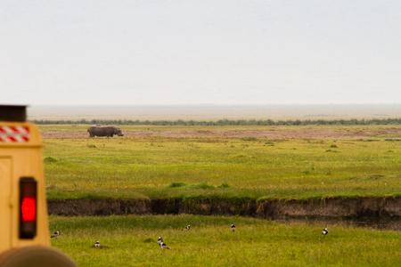 Common hippopotamus (Hippopotamus amphibius), or hippo, large, mostly herbivorous in the grass and a safari car in Ngorongoro Conservation Area (NCA) Crater Highlands, Tanzania