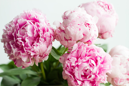 Macro image of beautiful fresh pink peony flower isolated on background with copy space