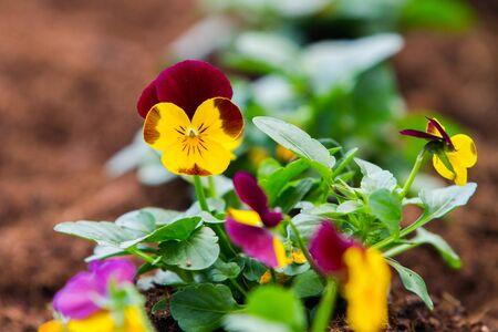 Yellow and purple pansy flowers Zdjęcie Seryjne