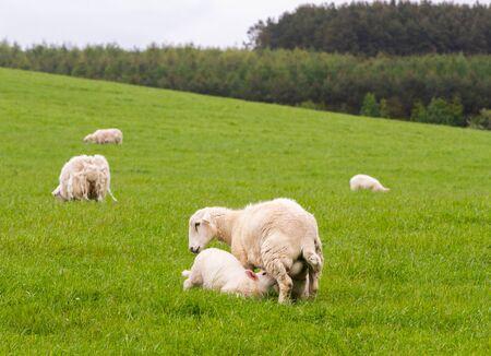 Costa escocesa con campos verdes frescos y rebaños de ovejas Foto de archivo