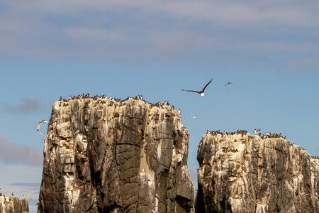 Razorbills, cormorants, puffins, herring gulls, terns and other birds protected in and around Farne Islands