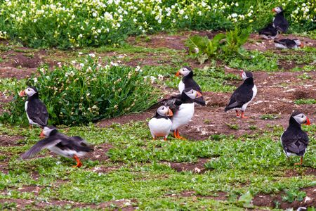 Colony of puffins, with brightly coloured beaks,  also knows as puffinry, a circus, a burrow, a gathering, or an improbability, in Farne Islands