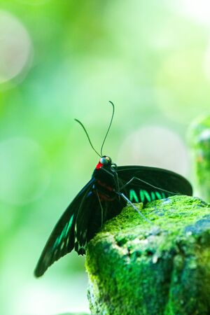 Rajah Brooke's birdwing (Trogonoptera brookiana) birdwing butterfly from the rainforests of the Thai-Malay Peninsula and the national butterfly of Malaysia