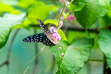 Blue and black Tirumala septentrionis, the dark blue tiger danaid butterfly in Southeast Asia