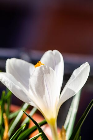 White crocus vernus (spring crocus, giant crocus) in a pot in spring setting