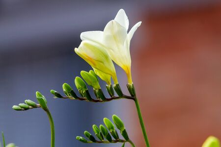 Close-up of freesia flowering plants on terrace pots, in natural light