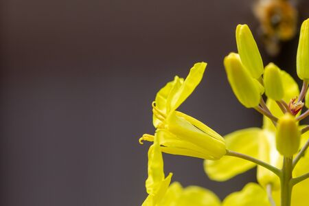 Close-up of Brussels sprouts yellow flowers, of cabbages family (Brassica oleracea) with bee on the petals