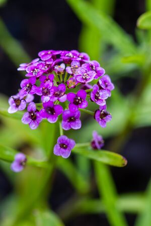 Violet Lobularia maritima flowers, known as Alyssum maritimum, sweet alyssum or sweet alison