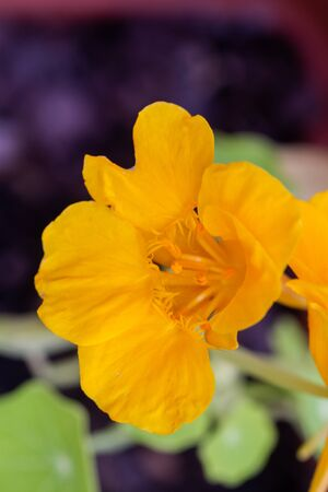 Yellow Tropaeolum majus (garden nasturtium, Indian cress, or monks cress) in a pot in natural light