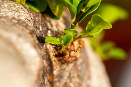 Nature rebirth with small ficus leaves emerging