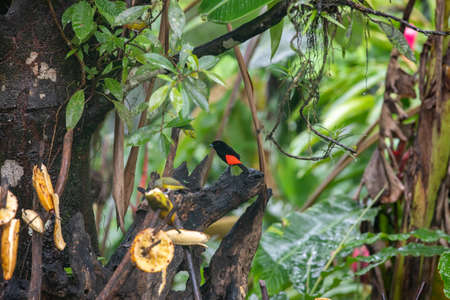 Scarlet-rumped Tanager, Ramphocelus passerinii, exotic tropical bird from Costa Rica, in lush green natural habitat