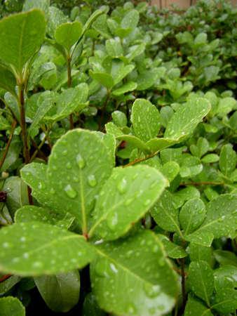 water druppels op de bladeren.