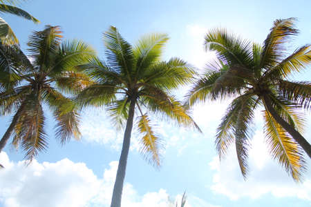 tree landscape: Palm trees on the beautiful sun background.
