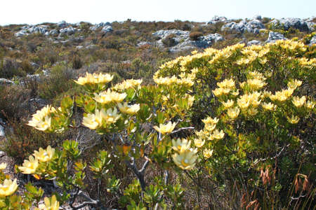 capetown: Flowers at Tablemountain, Capetown