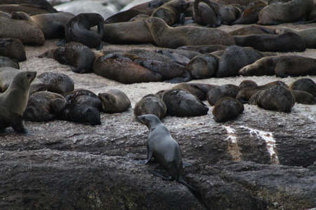 pinniped: Sea Lions on the coast near Cape Town, South Africa