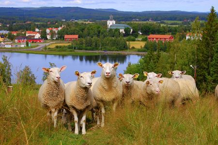 sheeps: Some curious sheeps in H�lsingland, Sweden.