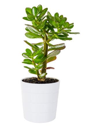 흰색 배경에 고립 된 흰색 꽃 냄비에 녹색 식물 Crassula 또는 돈 나무 스톡 콘텐츠