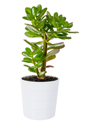 Green plant Crassula or money tree in a white flower pot isolated on white background photo