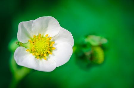 stami: Macro shot di un fiore di fragola con stami e il polline