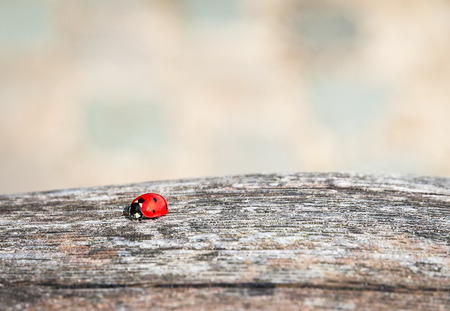 coccinella: Ladybug walking along a weathered old wooden board