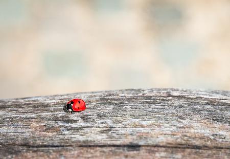 septempunctata: Ladybug walking along a weathered old wooden board