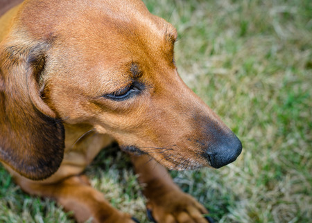short haired: Closeup portrait of a short haired red dachshund on a grass in the park Stock Photo