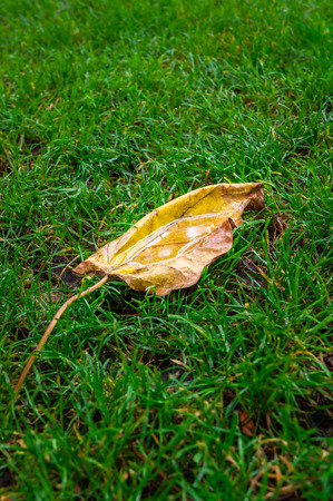 Autumn leaf with water inside on green grass, macro