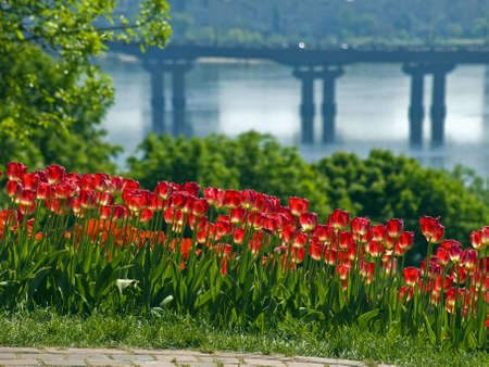 Bed of red tulips shot against the backdrop of a bridge across the river