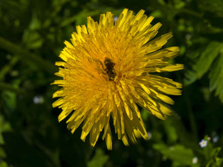A bee sitting on a yellow dandelion  The bee covered with pollen from dandelions  Stock Photo
