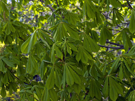 clearly photographed chestnut leaves by one branch to the background of the tree crown Stock Photo