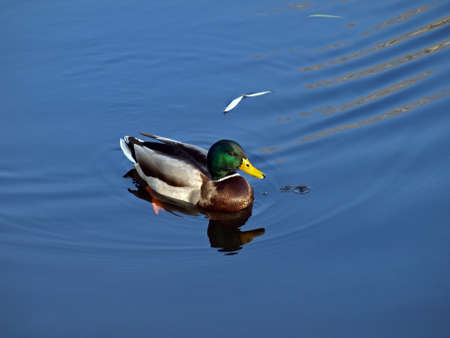 Duck floating on calm water  Clearly visible feathers and a drop of water