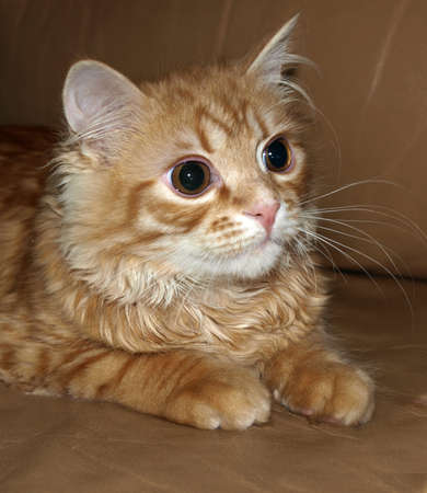 ginger cat with wavy hair and big eyes warily watching