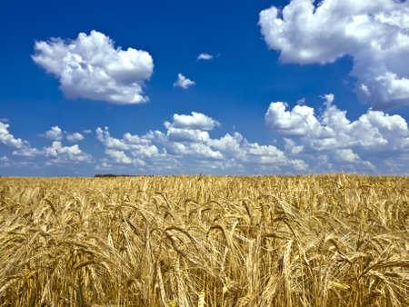 bright cumulus clouds in blue sky over a field of ripe barley