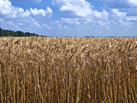 field of ripe wheat to the horizon, and above it a blue sky with white clouds