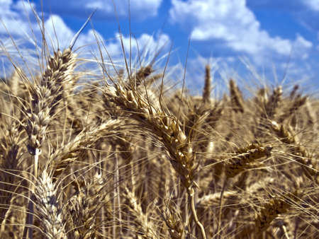 Several wheat ears close up against the sky, and field of wheat Stock Photo